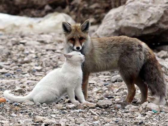 un chat et un renard se lient d'amitié