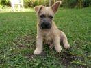 chiot bébé cairn terrier