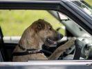 Des chiens abandonnés apprennent à conduire dans un refuge de Nopuvelle-Zélande