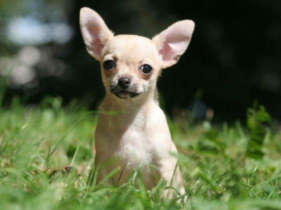 Le Chihuahua 15 Races De Chiens Id 233 Ales Pour Les Enfants