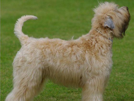 l 39 irish terrier poil doux je suis allergique quel chien pour moi page 9 wamiz. Black Bedroom Furniture Sets. Home Design Ideas