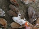 lapins île japon