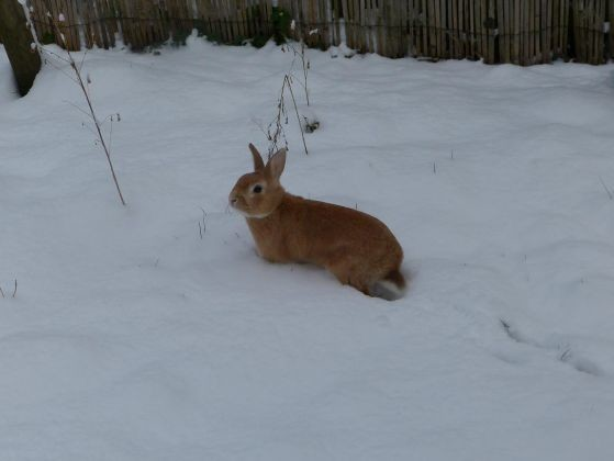 lapin neige photo