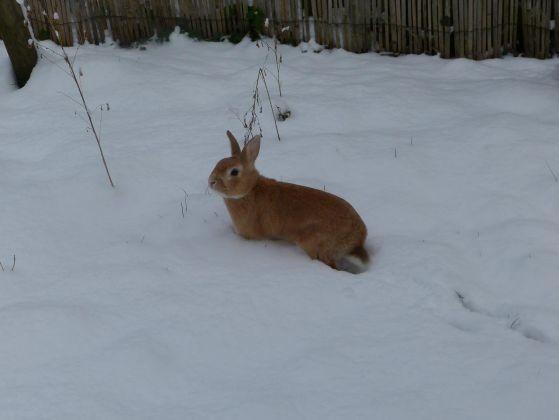 lapin neige photo