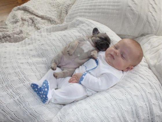 chiot bébé bouledogue français