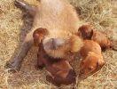 Des chiots adoptés par un capybara rongeur