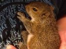 bébé ecureuil orphelin miraculé