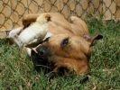 chien pitbull pâques poussin lapin