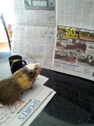 photos cochon d'inde