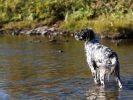 8 races de chiens qui adorent l'eau