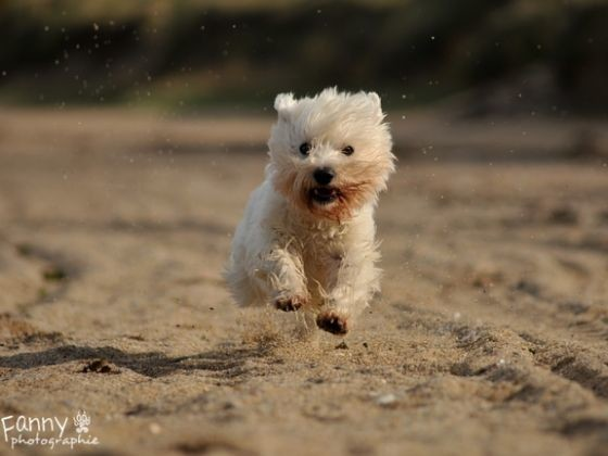 West Highland White Terrier, westie
