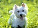 West Highland White Terrier, westie