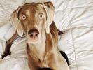 braque de weimar, chien star