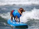 chien surf