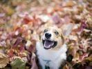 chien welsh corgi automne