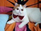 snoopy babe, chat persan american shorthair