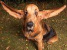 longues oreilles chien