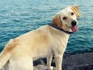labrador retriever chien