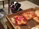 chien pizza