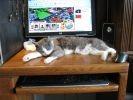 chat joue sur ordinateur