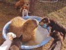 chiots capybara