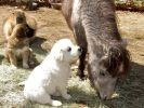 chiots âne