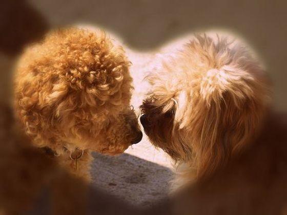 chien saint valentin