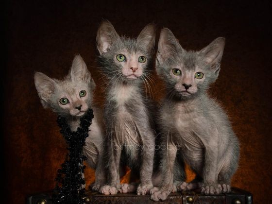 chat lykoi
