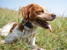 chien epagneul breton
