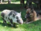 photo cochon et chien