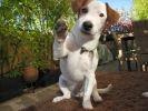 Jack Russel Terrier Luna