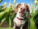 photo chien et tulipes