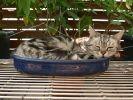 chat dans un pot de fleurs