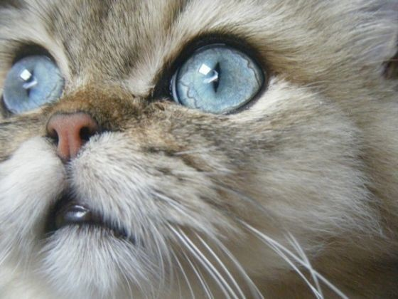 yeux chat persan