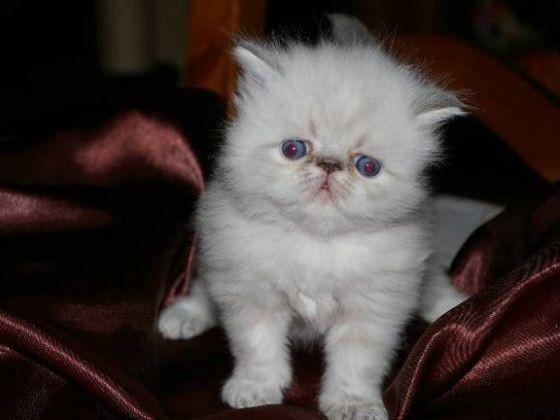 chaton pesan yeux bleus