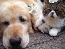 golden retriever, exotic shorthair