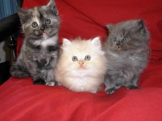 tête du chat Persan