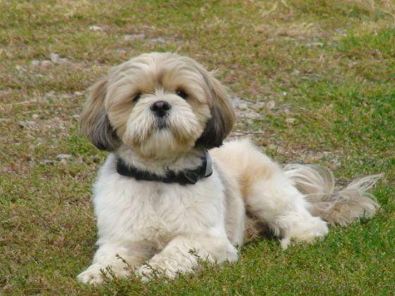 un chien sportif ou patachon lhassa apso tout savoir sur cette race de chien page 1 wamiz