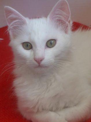 les pots de colle les races de chats et leurs diff 233 rents caract 232 res photos page 3 wamiz
