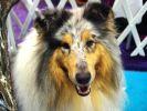 chien berger australien animal expo