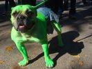 chien deguisement hulk