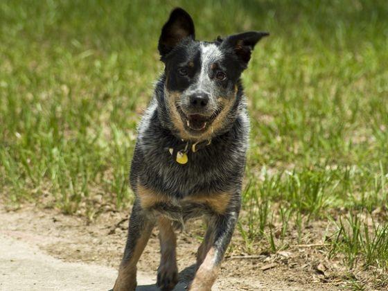Le Bouvier d'Australie - Les 10 races de chiens qui vivent