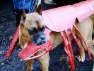 chien deguisement halloween homard