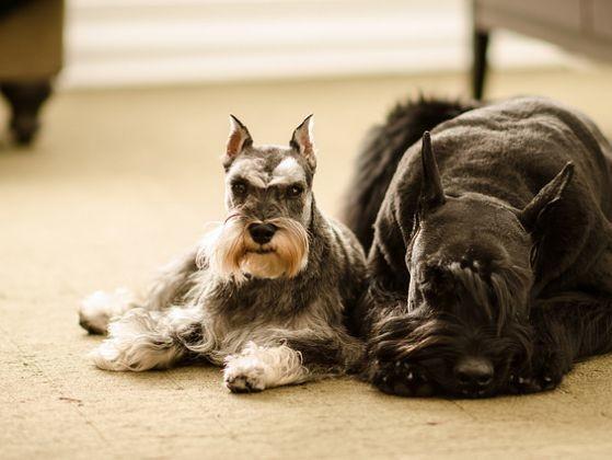le schnauzer 10 races de chien qui ne perdent pas leurs poils page 10 wamiz. Black Bedroom Furniture Sets. Home Design Ideas