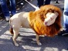 chien costume lion halloween