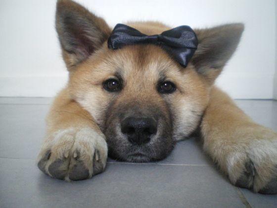 photo chien akita inu