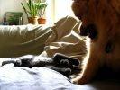 Loulou de Poméranie chat