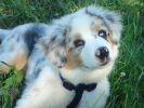 photo chien berger australien