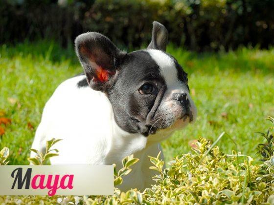 Chien Maya