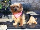 photo chien norfolk terrier